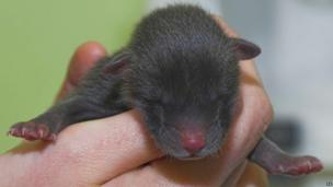 Orphaned baby fox cub at the National Wildlife Rescue Centre in Fishcross, Scotland