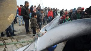 Tunisian fishermen pull a whale, AFP