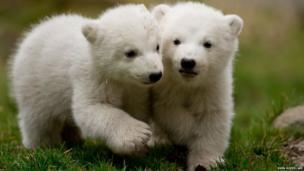 Two 14 week-old polar bear twins