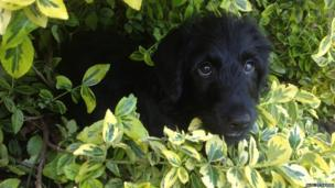 A dog peering out of a hedge