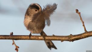 Long-tailed tit with feather for nest