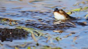 Frog with spawn