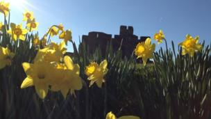 Jane Hurley from Porthcawl took this photo of daffodils in front of Caerphilly Castle on a beautiful spring day.