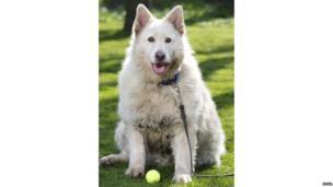 White Shepherd Wolf