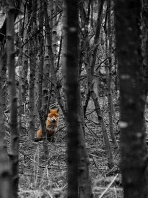 Fox looking through trees