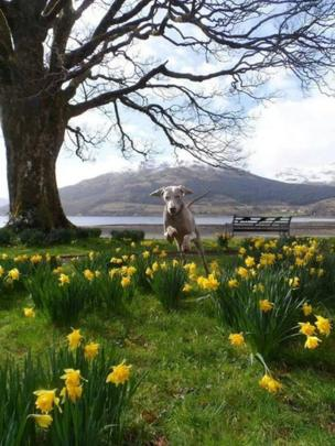 Dog jumping over daffodils