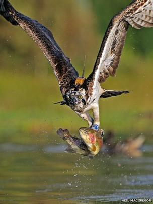 Osprey by Neil MacGregor