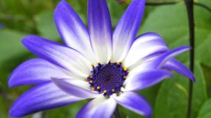 Pericallis Hybrid - blue bicolour