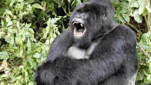 A silverback mountain gorilla yawning, Virunga National Park, DR Congo - Saturday 3 May 2014