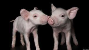 2 piglets