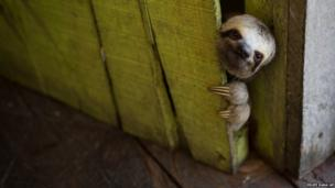A sloth peeks out from behind a door