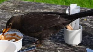 Blackbird eating jam