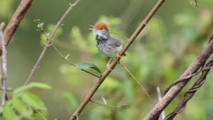 The Cambodian Tailorbird