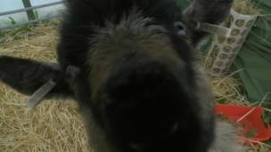 A goat takes interest in a BBC camera at the 2014 Royal Cornwall Show
