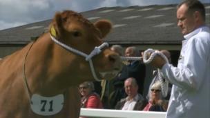 Livestock on display at the 2014 Royal Cornwall Show