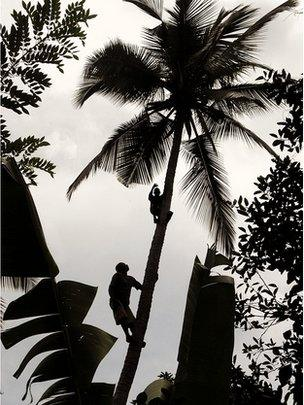 Men harvested coconuts (Image: BBC)