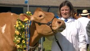 Champion cow at at the 2014 Royal Cornwall Show