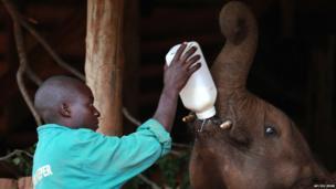 An elephant keeping bottle feeding an orphaned elephant calf in Lusaka, Zambia - Friday 6 June 2014