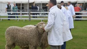 Lincolnshire Long Wool sheep