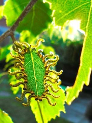 Caterpillars eating a leaf