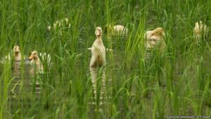 Two week old ducks swim in the newly planted rice field to eat insects and weeds at Ushio rice field in Ichikawa, Japan