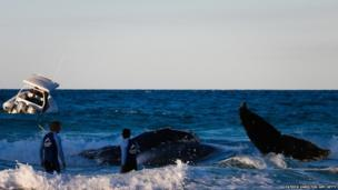 Australian marine authorities in Queensland struggle to rescue a humpback whale