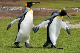 Volunteer Point, King Penguins