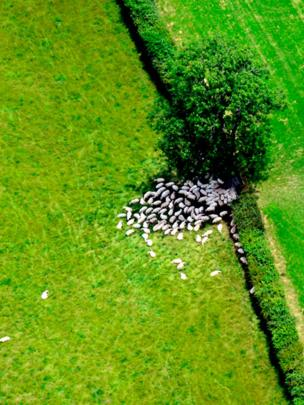 Sheep sleeping in the shade in the Vale of Glamorgan