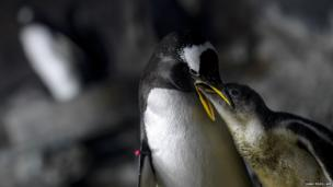 A Gentoo penguin feeds a chick at the Faunia park zoo in Madrid