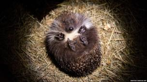 A hedgehog is pictured in a box a