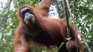 Female orang-utan hangs from tree