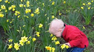 Toddler smelling daffodils
