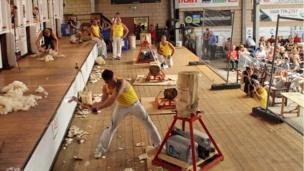 Cneifwyr yn erbyn bwyellwyr yn y sied gneifio... // Shearers versus axemen in the shearing shed...