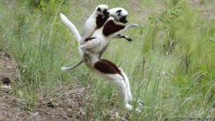 Coquerel's sifaka female and juvenile, leaping