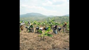 Banana Plantation Cooperative Huye District, Ngoma Village, Rwanda.