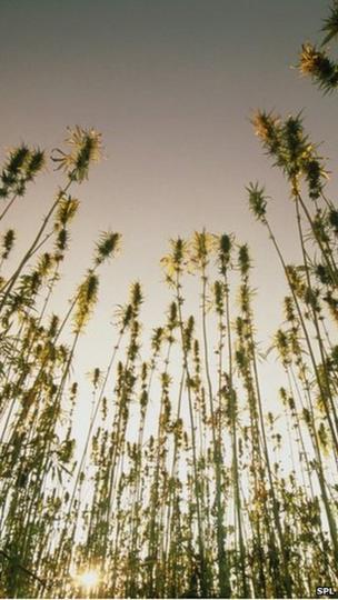 tall hemp plants