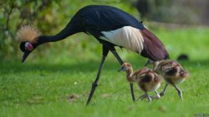 A Crane parent and their two chicks