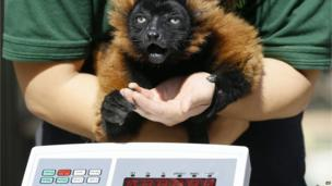 Lemur being weighed