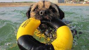 Border Terrier swimming