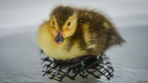 Baer's pochard duckling
