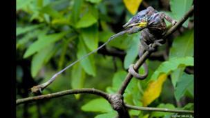 A panther chameleon (Furcifer pardalis) snaring its prey