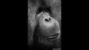 Rajang, an orangutan.