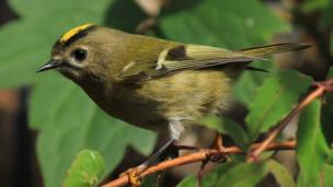 A Goldcrest bird in the trees around Betws Garmon