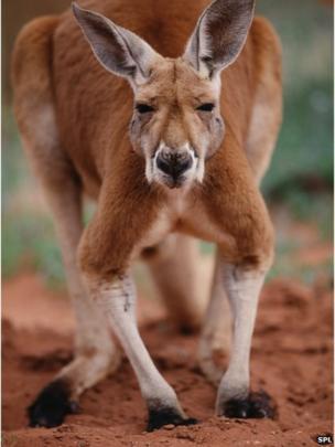 Giant Kangaroos Walked On Two Feet Bbc News