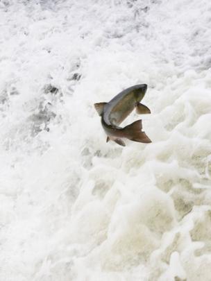 A salmon jumping at Radyr Weir, Cardiff.