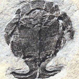 Fossil of Microbrachius dicki