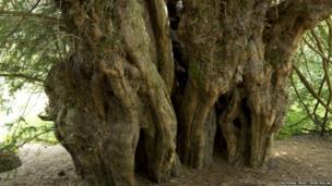 Ankerwycke Yew, Runnymede, Berkshire