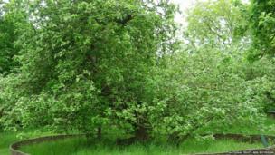 Newton's Apple Tree, Lincolnshire