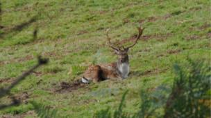 A deer at National Trust Dinefwr Park in Carmarthen.