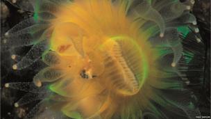 A Devonshire cup coral